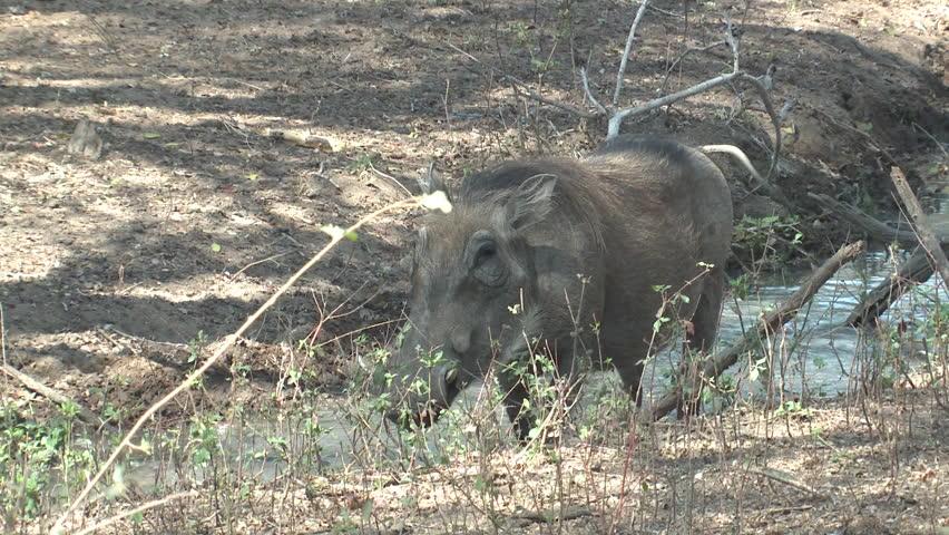 Warthog Adult Lone Walking Dry Season in South Africa