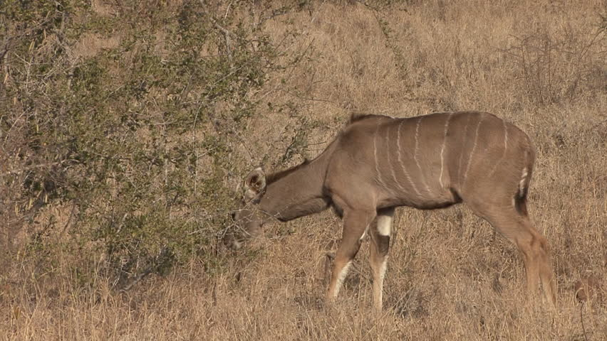 Greater Kudu Doe Female Adult Lone Eating Browsing Dry Season in South Africa