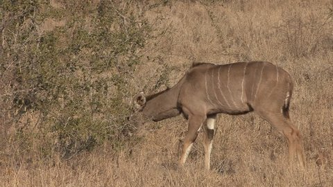 Greater Kudu Doe Female Adult Lone Eating Browsing Dry Season in South Africa