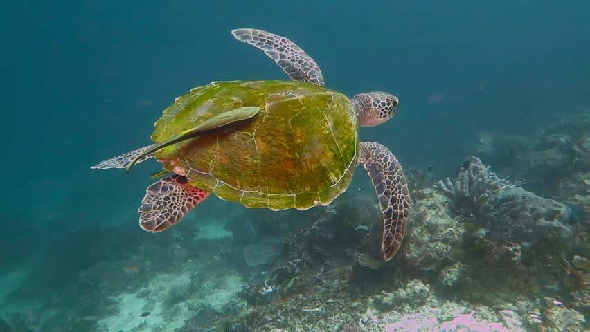 Green turtle with parasite on the shell swimming in the sea. Turtle underwater. Scuba diving with marine tortoise and remora. #1011506264