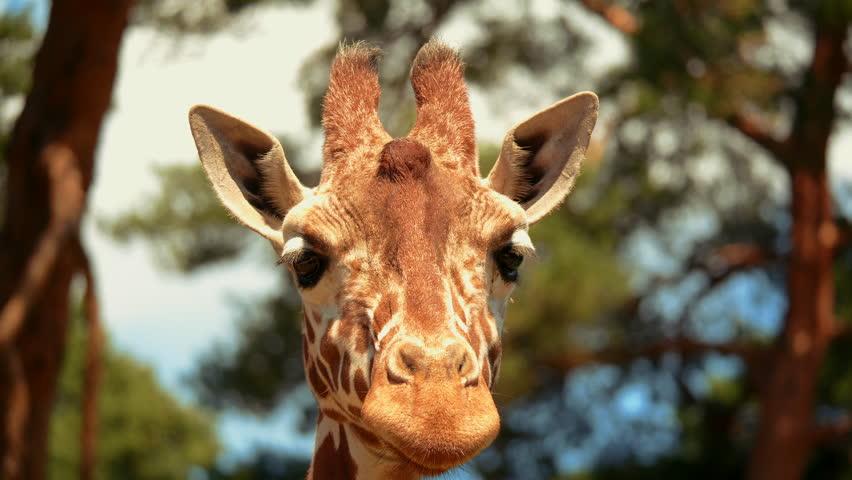 Giraffe Wallpapers Stock Video Footage