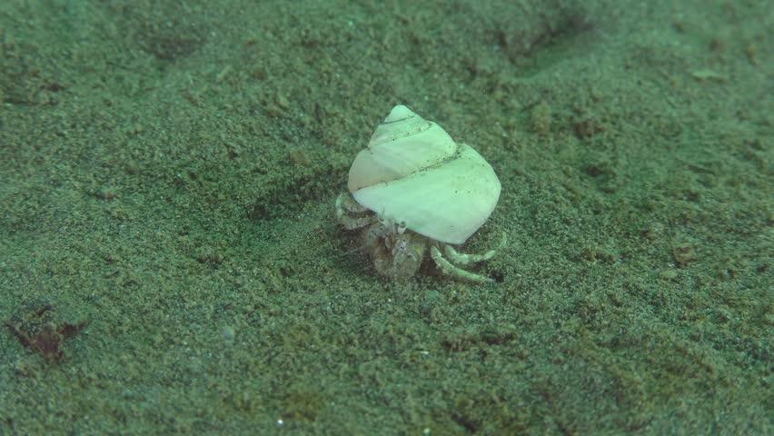 Small hermit crab (Diogenes pugilator) on a sandy bottom.