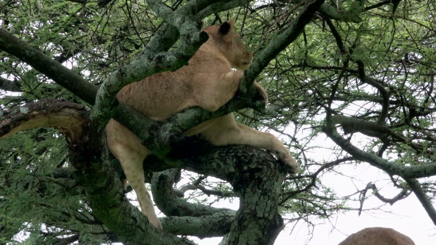 Lion, Lions up in the tree, Evening, Serengeti, Tanzania, Africa