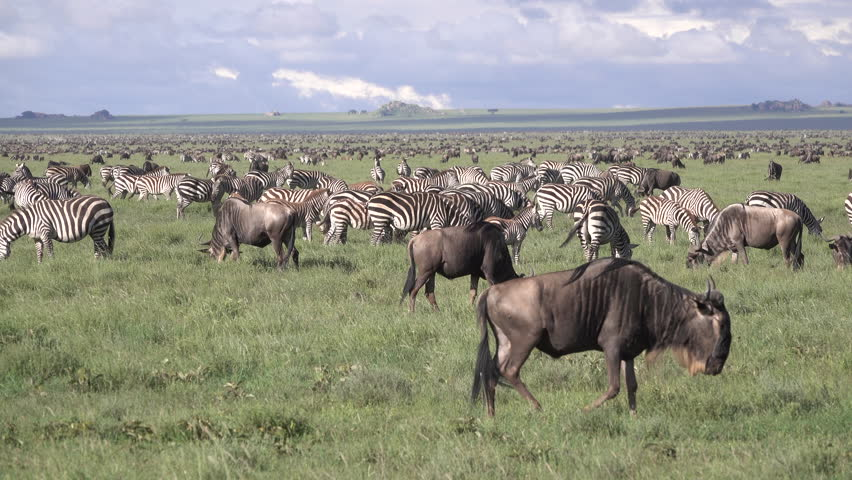 Zebra, great Migration of Zebras. The Zebras working the same route like the Wildebeest every year in the Serengeti and Masai Mara, Tanzania, Africa