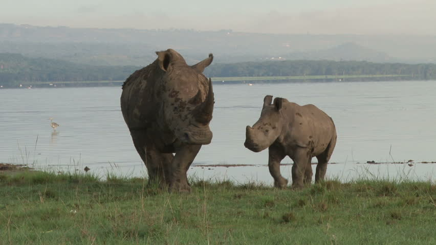 A white rhino with a baby standing on the shores of lake nakuru.