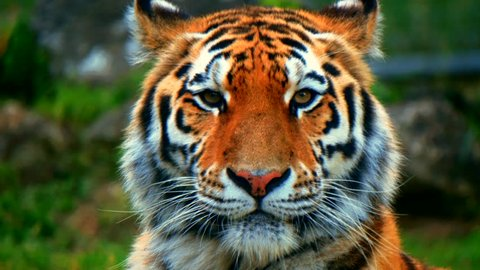 Close-up head portrait of a beautiful Siberian tiger (Panthera tigris tigris)