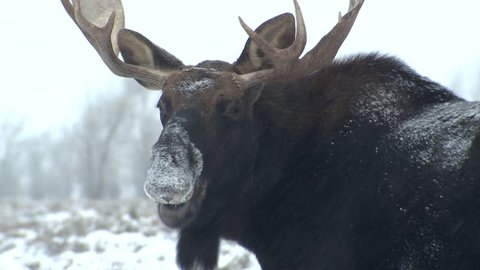 Moose Bull Male Adult Lone Eating in Winter Snowing in Wyoming