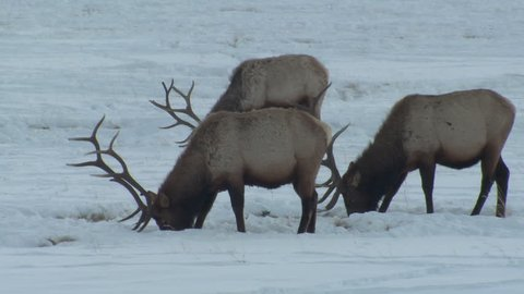 Several Elk Bull Male Adults Eating in Winter in Wyoming