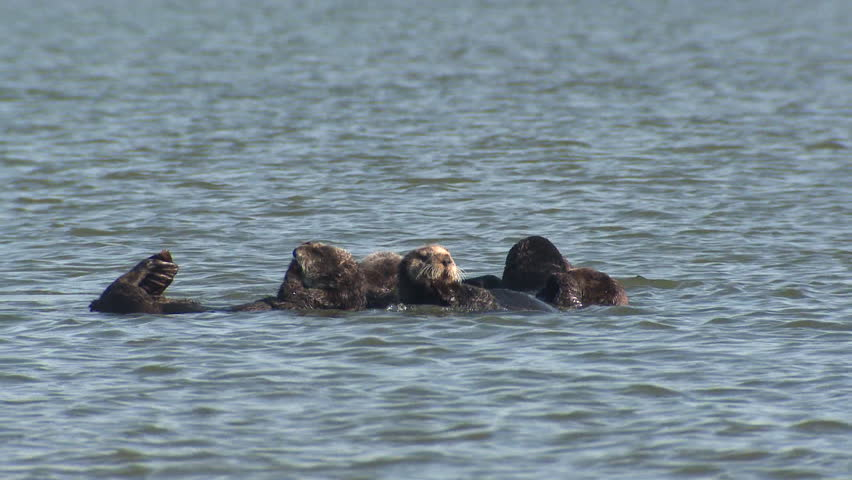 Sea Otter Several Grooming Cleaning in California #1011625184