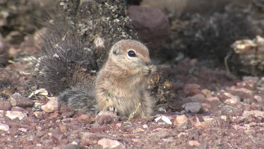 White-tailed Antelope Ground Squirrel Young Lone Eating in Spring in Arizona