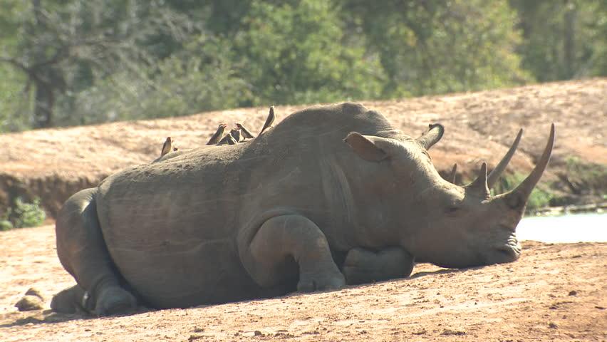White Rhinoceros Adult Lone Resting in Swaziland
