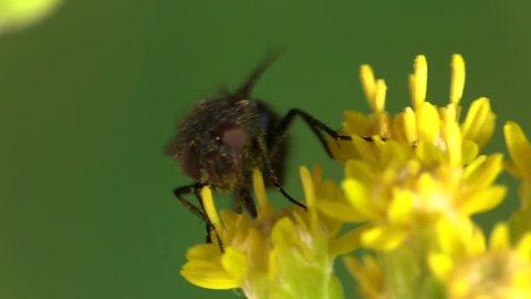 Housefly Adult Lone in Summer Yellow Flower in South Dakota