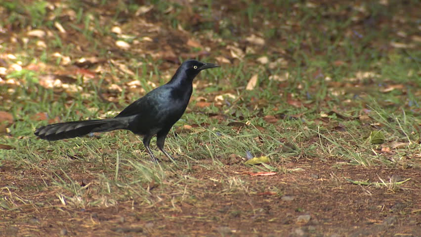 Great-tailed Grackle Adult Drinking Water in Costa Rica