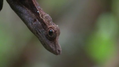 Anole Adult Lone Resting Eye in Costa Rica