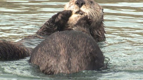 Sea Otter Male Female Adult Pair Otters Frolicking  in California