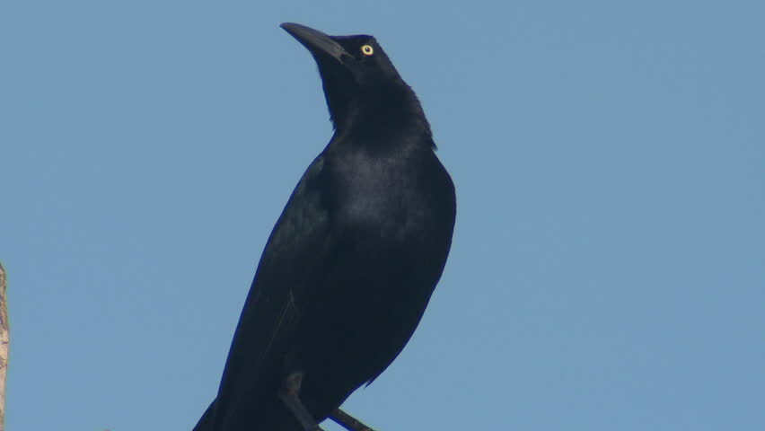 Great-tailed Grackle Adult Lone Calling in Spring Wind in Belize