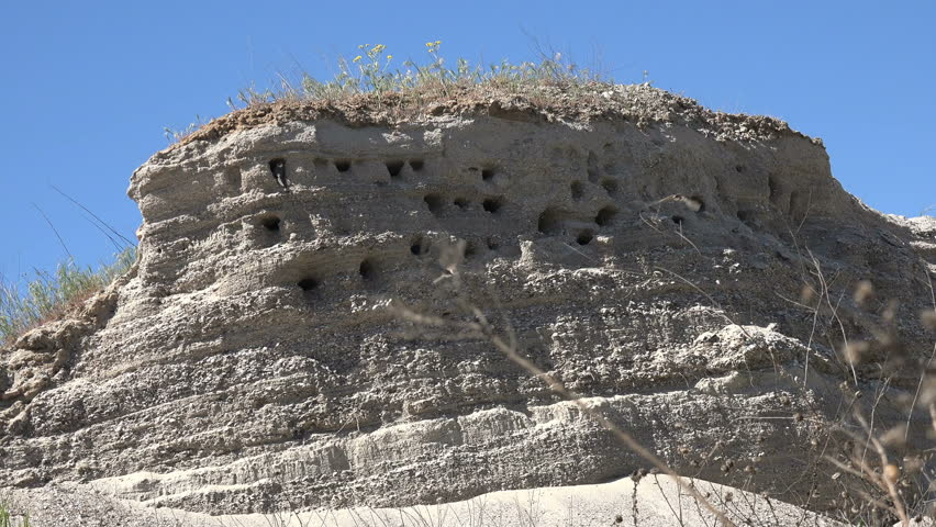 Swift birds entering and coming out of holes in a slope in natural environment. Colony of swallows on steep bank of river