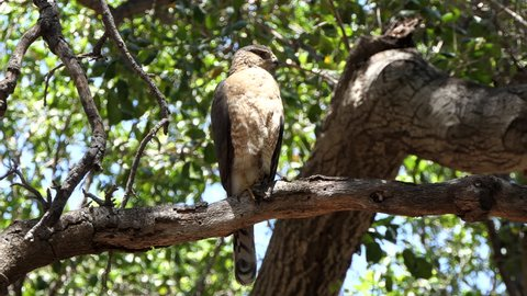 Coopers Hawk on tree branch at Corriganville Park in Simi Valley California.