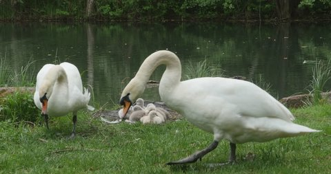 Two adult swans feeding in grassy area. Nest with cygnets, baby swans  behind them. Pond water in background.