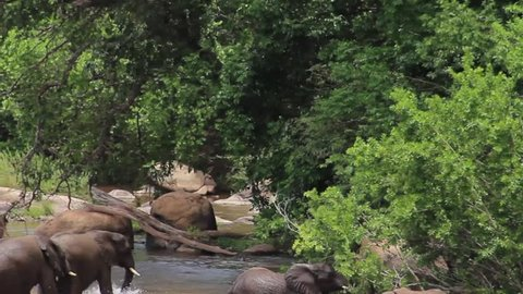 A family of elephants with cubs socializing by the Sabie river, fighting and splashing water, Kruger National Park, South Africa