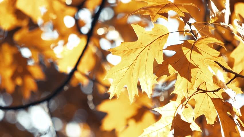 Fading autumn oak leaves. Waving yellow fall tree, close up.