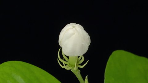 Time lapse of white Jasmine flowers opening on black background