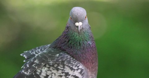 Single Rock Pigeon or Rock Dove bird on a fence during a spring nesting period
