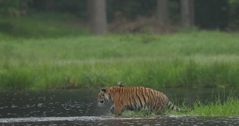 Amur tiger in the river water. Dangerous animal, taiga, Russia. Big animal in green forest. Siberian wild cat walking in nature habitat.
