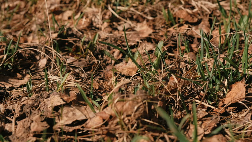Young grass growing in the forest among dry leaves in spring.
