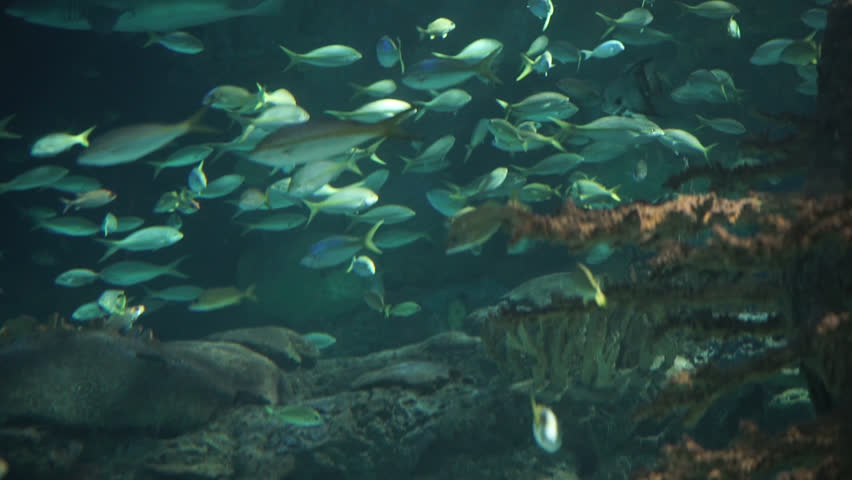 Large school of Yellowtail snapper fish in a tracking shot
