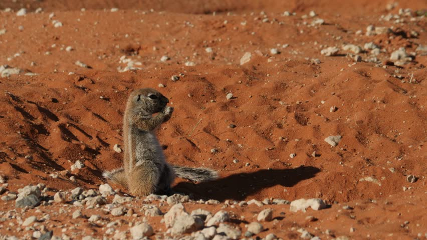 Ground Squirrel in the Red Sand of the Kalahari Desert