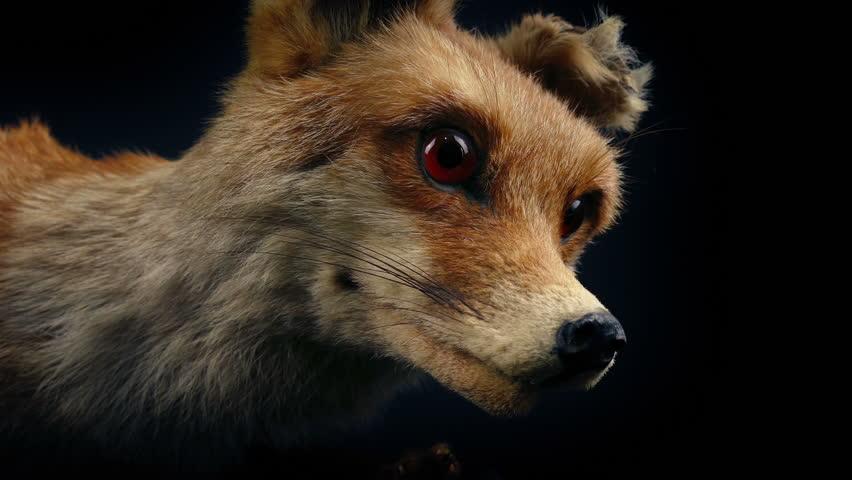 Red Fox Taxidermy Display