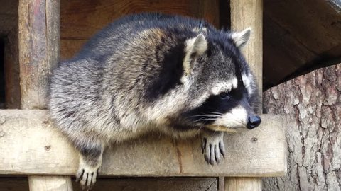 Raccoon (Procyon lotor), sometimes spelled racoon, also known as common, North American or northern raccoon, is a medium-sized mammal native to North America.