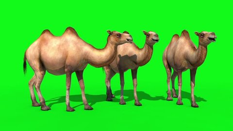 Group of Camels Idle Green Screen 3D Renderings Animations