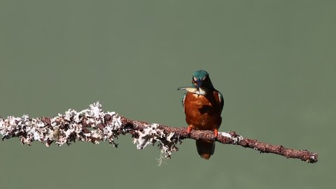 A Eurasian Kingfisher catching & eating fish on a branch.