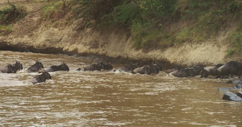 Kenya - December, 2016: Gnus getting out of a river