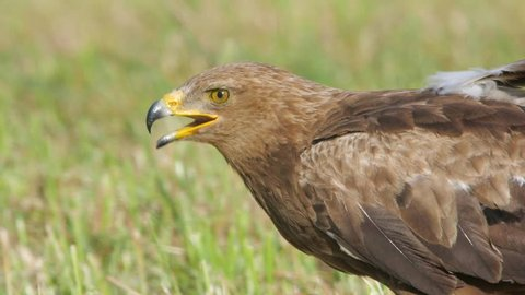 Lesser spotted eagle. Feeding bird in slow motion. Clanga pomarina.