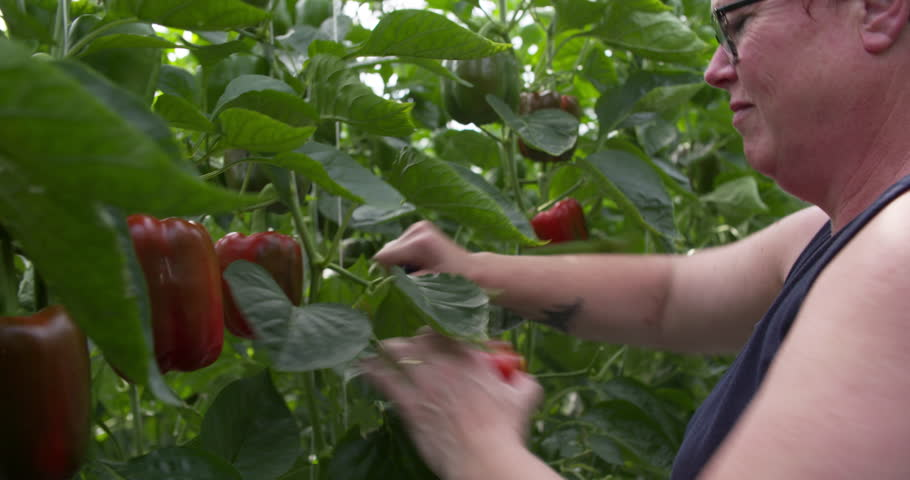 Woman at work harvesting red paprika's in a greenhouse, horticulture job in the Netherlands, Europe 4K | Shutterstock HD Video #1012051124