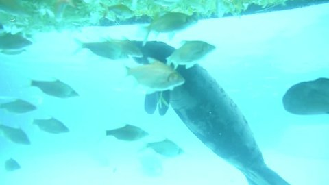 Dugong or Manatee floats in blue water and eat food at a zoo