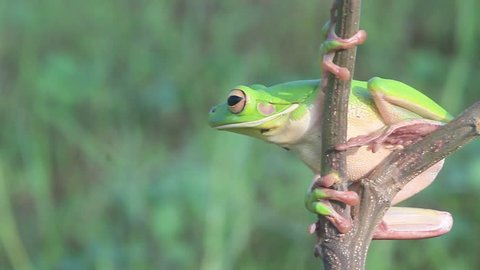 frogs, white lips tree frogs on twigs
