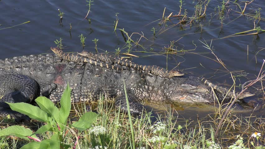 Mother Alligator with Babies on her back and head