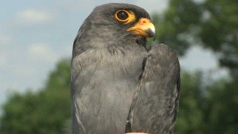Common kestrel - Falco tinnunculus - close up shoot  the head of a bird