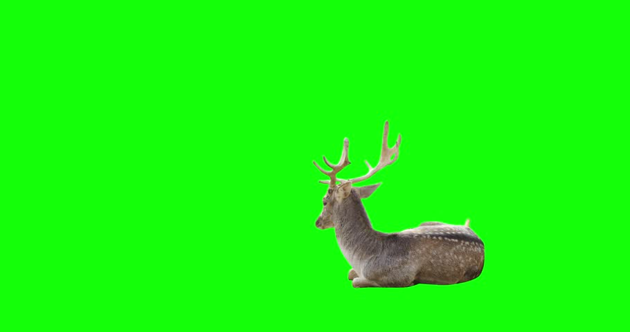 4K male deer gazelle on green screen sitting and looking around, stands and walks away.