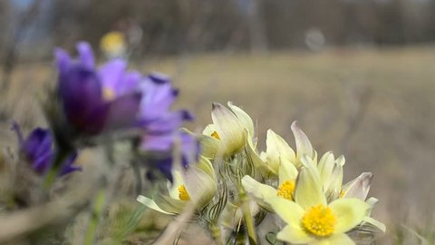 blossoming purple and yellow pasque flowers pulsatilla grandis swaying in the wind on the hill