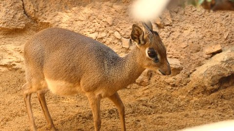 Kirk's dik-dik (Madoqua kirkii) is small antelope native to Eastern Africa and one of four species of dik-dik antelope. Dik-diks are herbivores, typically of a fawn color.