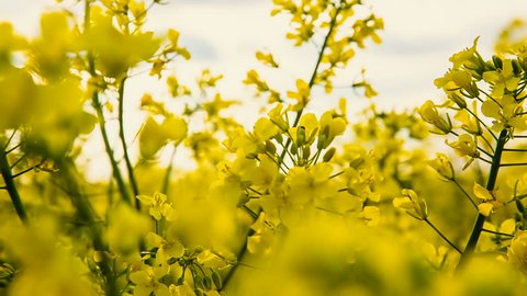 Close-up of colored flowers of canola, rapeseed, yellow background