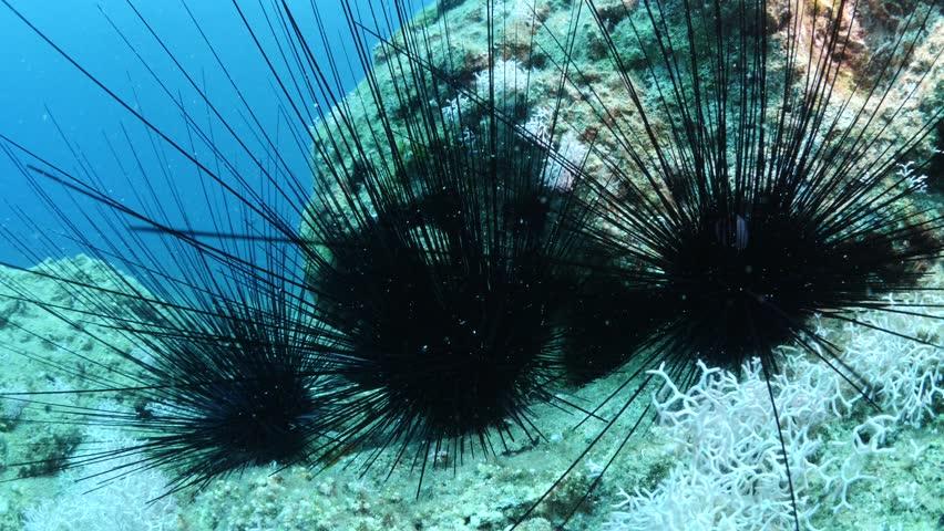 sea urchin underwater