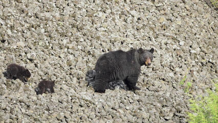 Mother black bear leading her cubs across rocky hillside in the wild landscape of Yellowstone. | Shutterstock HD Video #1012337444