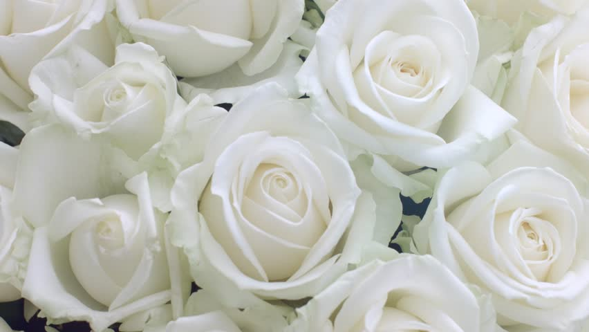 nice beautiful white roses hd free wallpapers - HD Wallpaper  |Beautiful White Rose Flowers