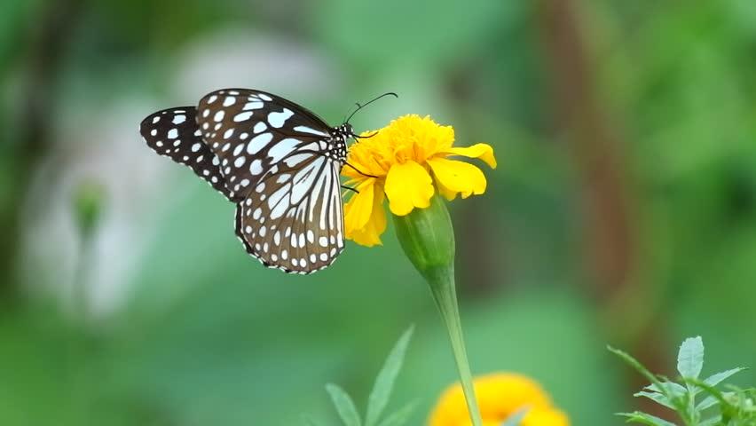 Butterfly on flower, Butterfly feeding on flower #1012375094
